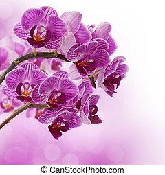 orchidea colore rosa