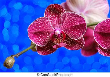 orchidee, blauwe , paarse , bokeh, bloeien, achtergrond