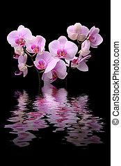orchidee, blume