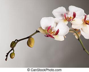 orchidee, mooi