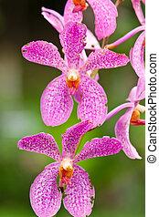 orchidee, paarse , mooi