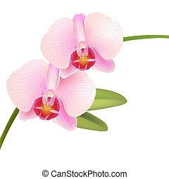 orchidee, rosa, phalaenopsis