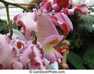 orchidee, weisse, гниль, красный