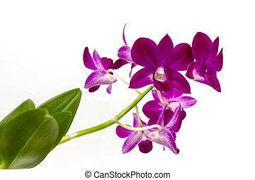 Orchideenblüten vor weißem Hintergrund