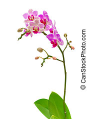 orchids blooming branch on a white background