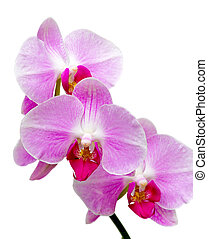 orchids blooming branch on a white background closeup