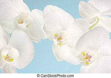 Orchids close-up - Close-up of white orchids on light blue...