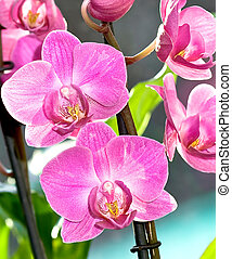 Orchids of juicy pink color