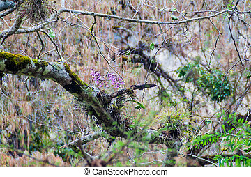 Orchids on a tree, Guatema