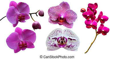 Orchids. Orchid flowers. A branch of orchid isolated on white background. Red orchid.