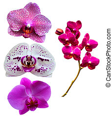 Orchids. Orchid flowers