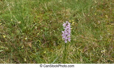 orchis flower in nature in a swamp panorama, is listed in the red book of rare plants