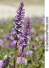 Orchis in the french Alps