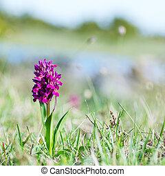 orchit, zacht, achtergrond, natuur