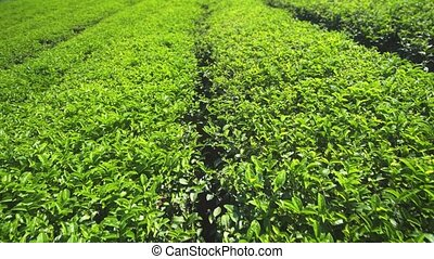 Orderly Rows of Bushes on Traditional Thai Tea Plantation - ...