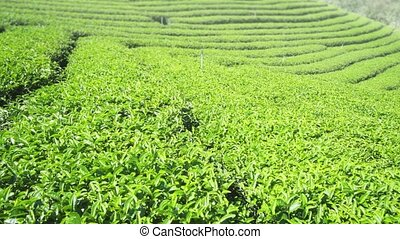 Orderly Rows of Tea Bushes on Slopes of Rural Thai ...