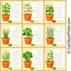 Oregano and Sage Posters Set Vector Illustration