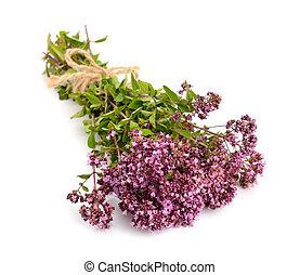 Oregano flowers isolated
