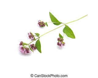 oregano flowers on a white background