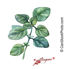 Oregano. Hand drawn watercolor painting on white background.