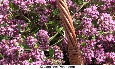 Oregano in wicker basket - Freshly picked oregano wild...