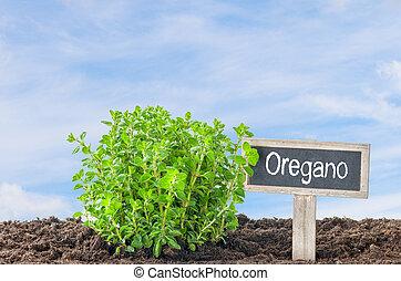 oregano, w ogrodzie, z, niejaki, drewniany, etykieta