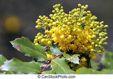 Oregon Grape in Bloom