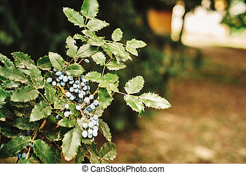 Oregon-grape