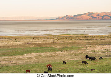 Cattle on the pasture by the Summer Lake in Eastern Oregon