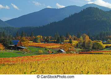 Vineyard in full Autumn color, farm with barn and mountains in background