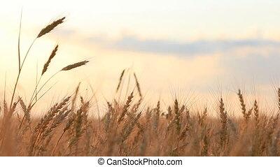 oreille, différent, brise, blé