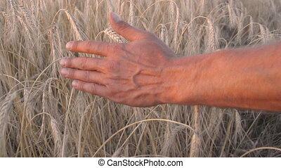 oreilles, équipe, blé, entre, main