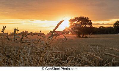 oreilles, blé, pendant, champ coucher soleil