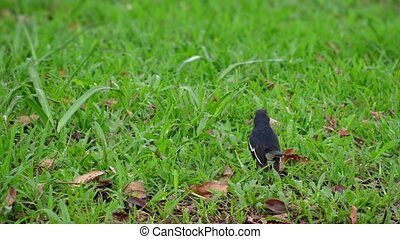 Oreintal Magpie Robin in the Grass in Sri Lanka - Adorable...