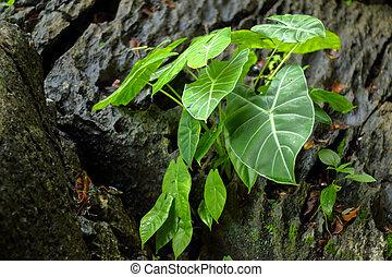 Plantas oreja elefante plantas taro olla aislado for Planta ornamental oreja de elefante