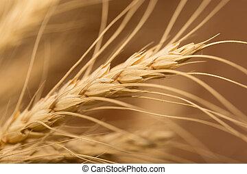 oreja, de, wheat., macro