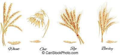 orejas, de, trigo, avena, centeno, y, barley., vector,...
