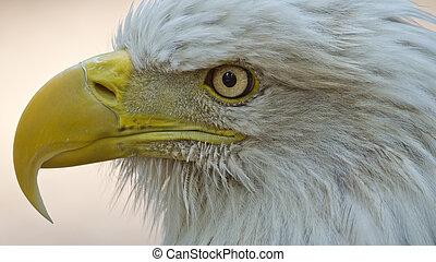 orel, americký, holý
