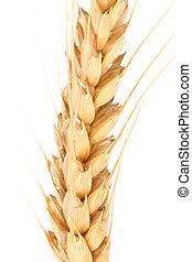 orelha, macro., wheat.
