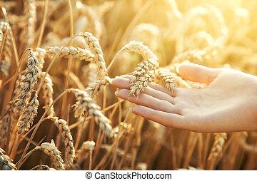 orelha, mulher, trigo, mão