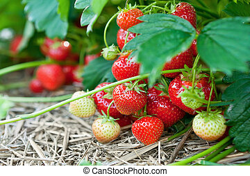 orgánico, fresas, primer plano, fresco