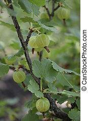 orgánico, grosella, arbusto, primer plano, rama, crecer, bayas