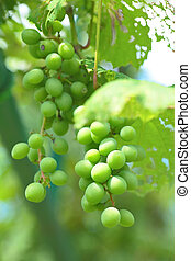 orgánico, uva verde