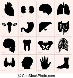 orgány, lidský