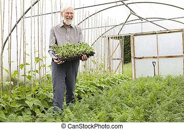 orgânica, agricultor, estufa, segurando, seedlings, bandeja