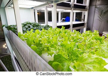 orgânica, hydroponic, fazenda, indoor, cultivo, vegetal