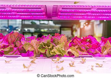 orgânica, hydroponic, vegetal, crescer, com, conduzido, luz, indoor, fazenda, tecnologia