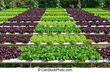 orgânica, hydroponic, vegetal, cultivo, fazenda