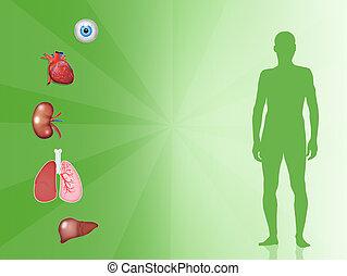 Organ donor - illustration of organ donor