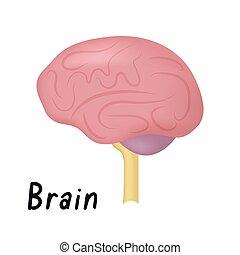 organ, hjärna, hälsosam, illustration, sida, anatomi, vektor, mänsklig, synhåll, inre